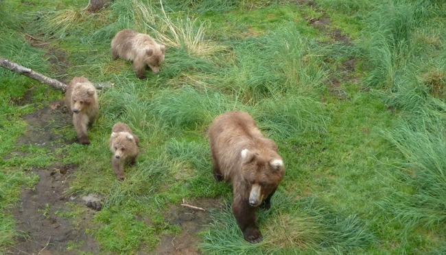 409 and yearling cubs walking near Brooks Falls
