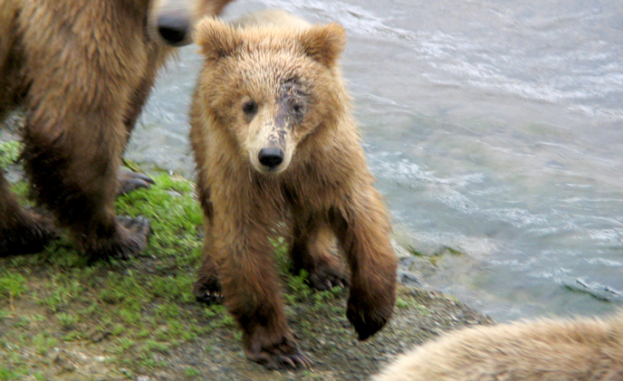 130-Tundra as a yearling cub with a facial injury in 2008