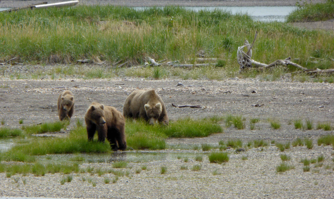 435 Holly walks with her cubs along Brooks River