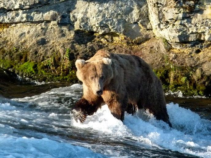 bear walking in water in front of rock wall