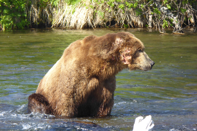 large bear with missing right ear sitting in river