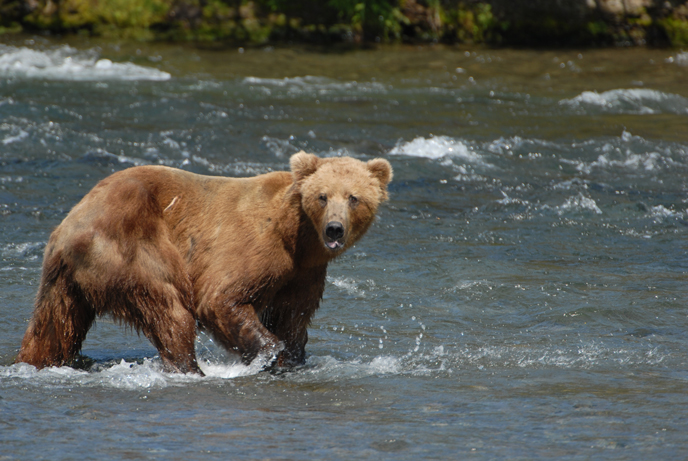 Young adult bear standing in Brooks River