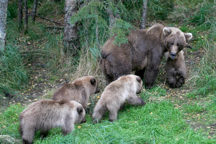 mother bear and four cubs in forest