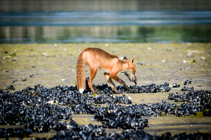 A fox picks a small fish out of the sand