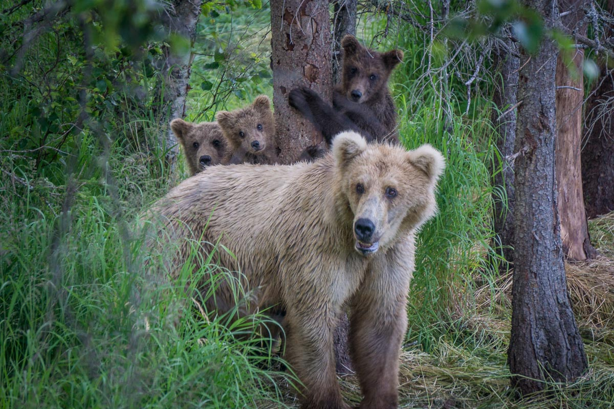 A mother bear stands with her three spring cubs