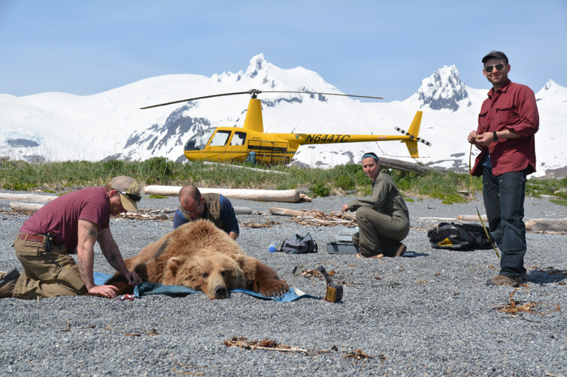 Researchers inspect a sedated bear