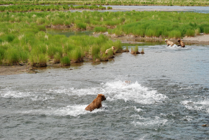 Bear jumping in frothy water full of salmon. Other bears standing in grass in background.
