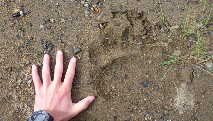 Bear print with human hand for scale
