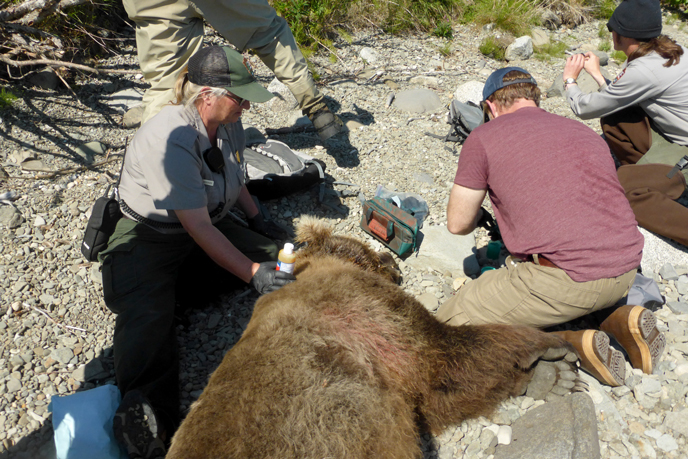 Biologists Sherri Anderson and Grant Hilderbrand treating the wound on 854's neck after the snare was removed