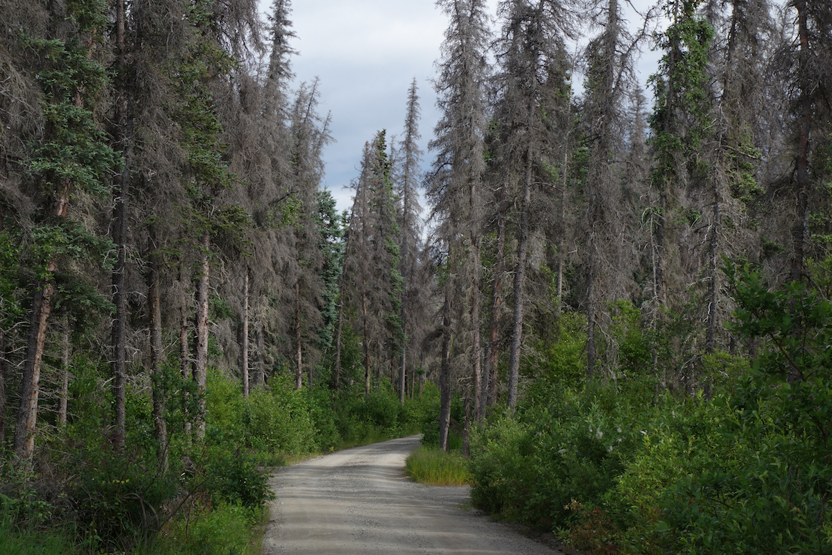 Spruce trees along the road to the Valley of Ten Thousand Smokes