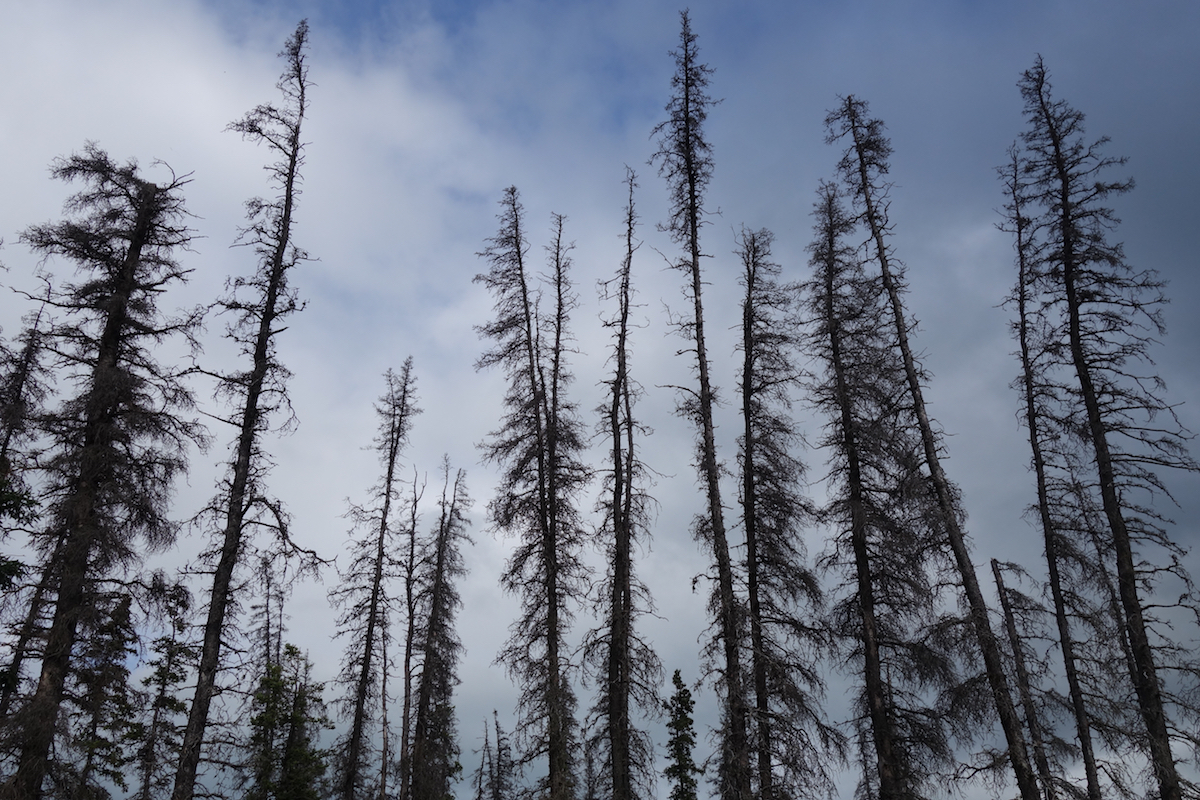 Dead spruce trees against a blue sky
