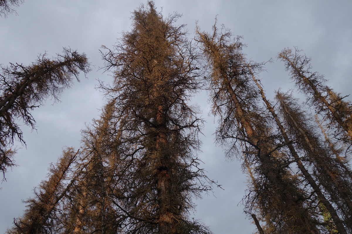 Dead spruce trees with orange needles