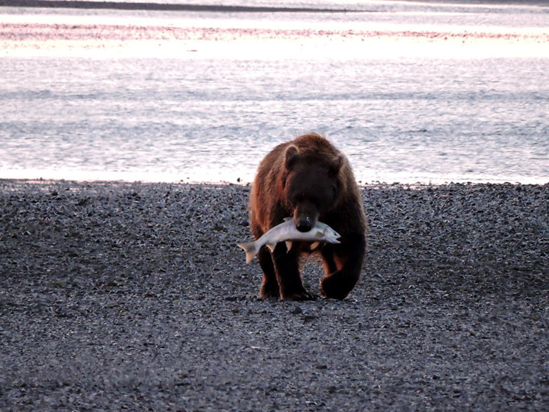 A bear walks on the beach with a salmon in its mouth
