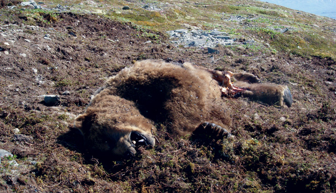 Dead bear on mountainside