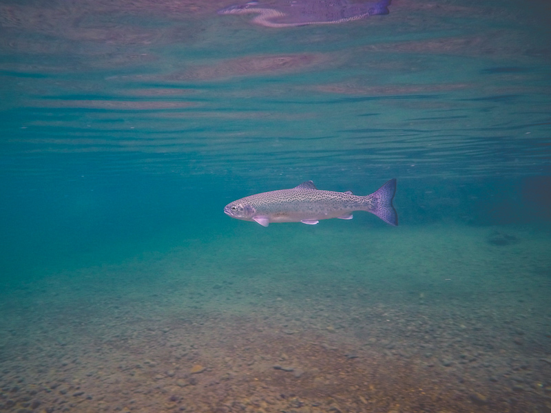 A rainbow trout swims by
