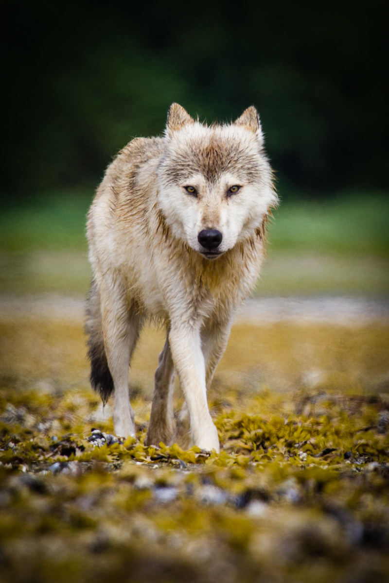 A grey wolf in Amalik Bay