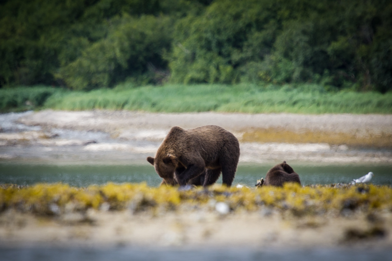 A bear digs for clams