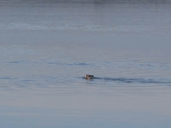 A muskrat swims in the Naknek River