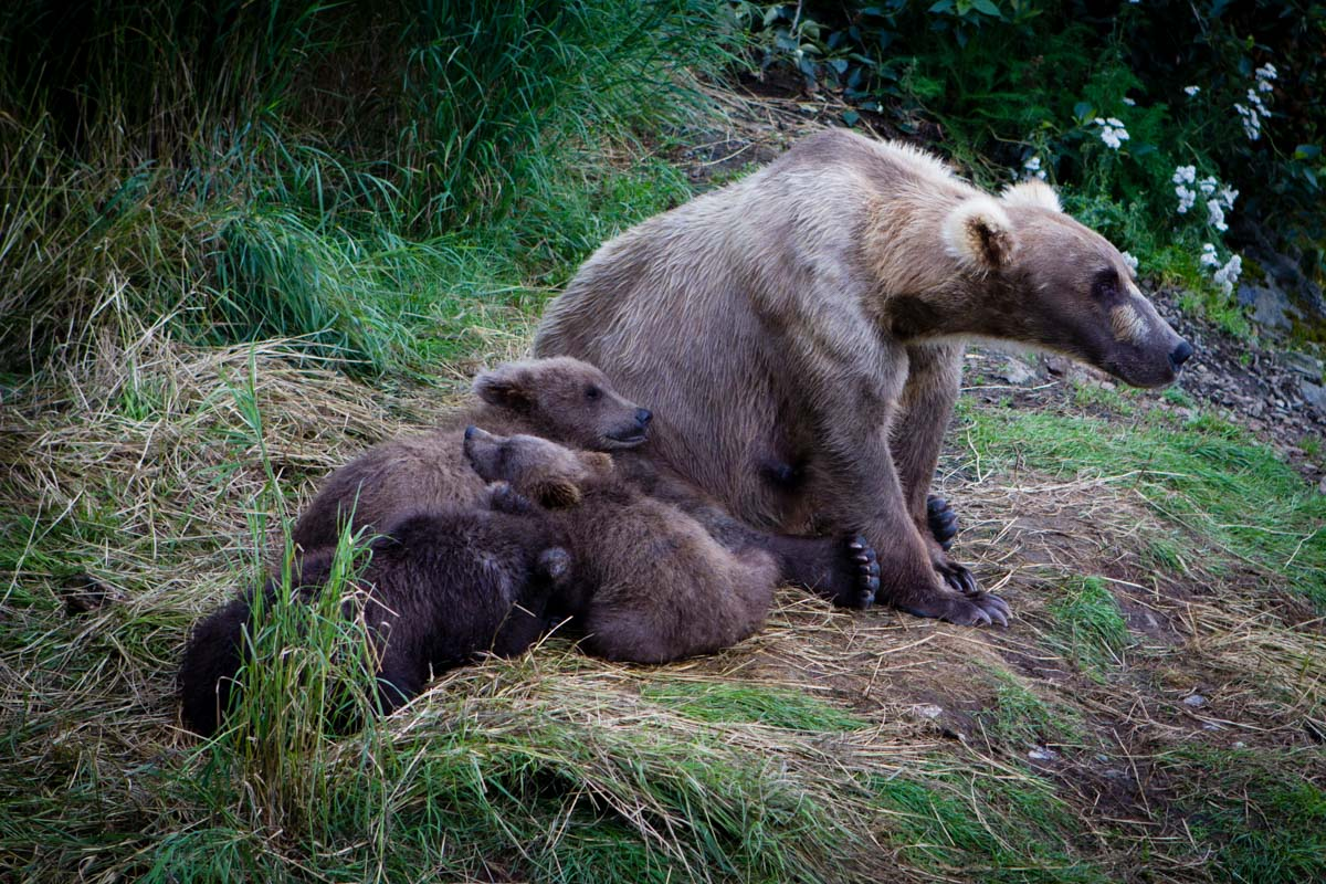 A mother bear sits with her three spring cubs