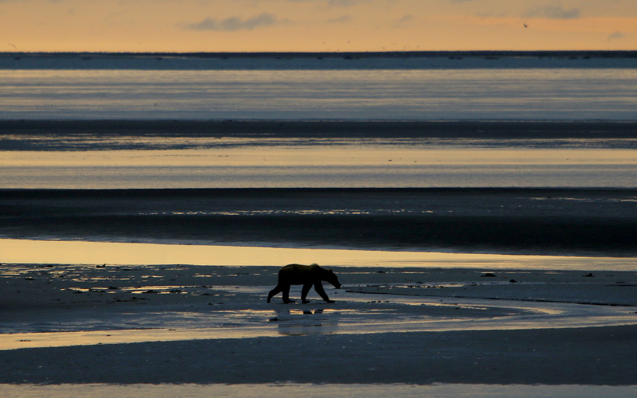 Bear walks in intertidal zone at sunset