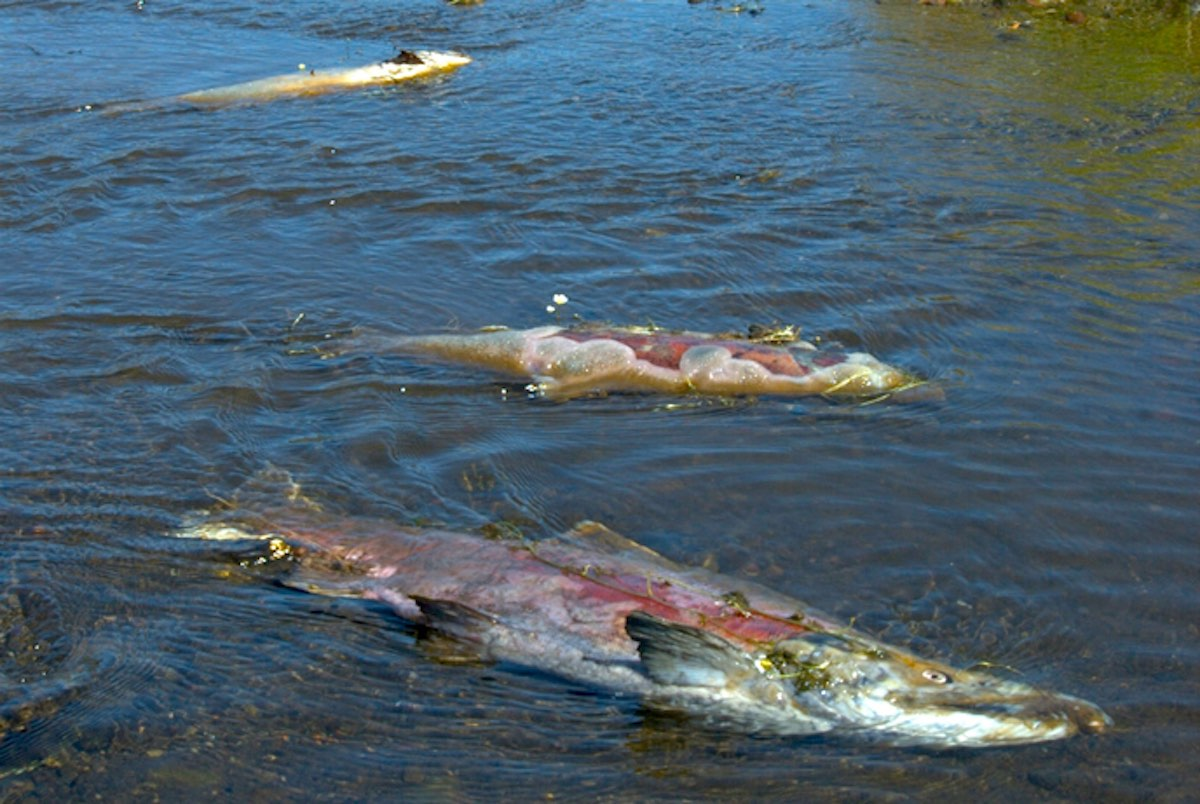 Salmon carcasses in a river