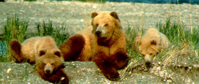 The bear nicknamed Sister (center) is flanked by her yearling cubs in 1983