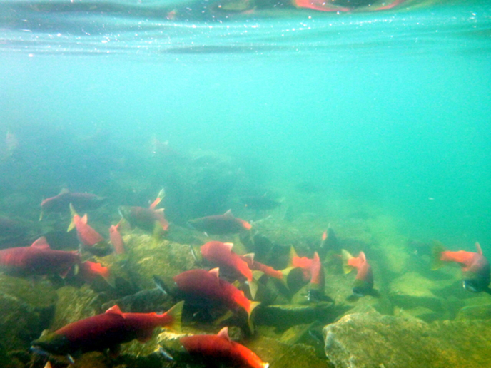 Sockeye salmon in Bay of Islands
