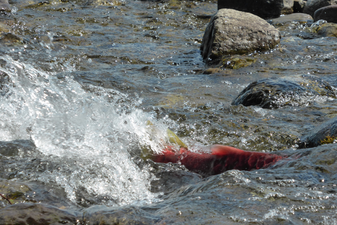 Sockeye salmon in spawning colors swimming into a small creek