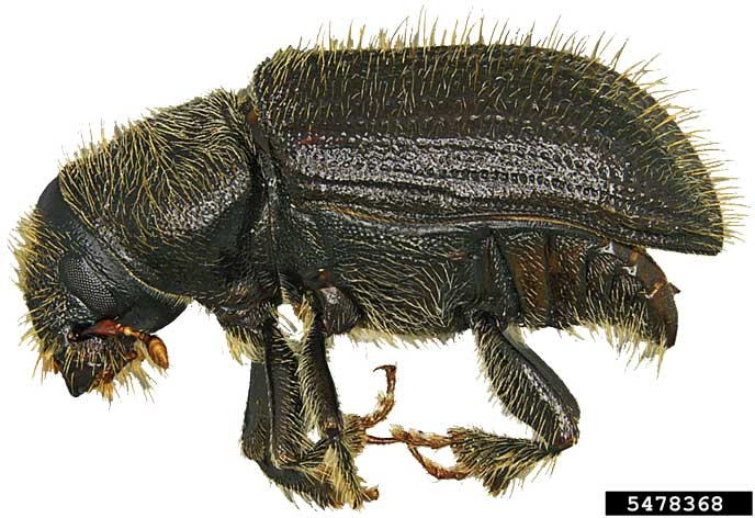Spruce Bark Beetle (Steven Valley, Oregon Dept. of Agriculture, Bugwood.org)
