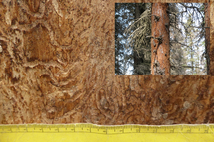 Spruce bark beetle galleries, Brooks Falls Trail