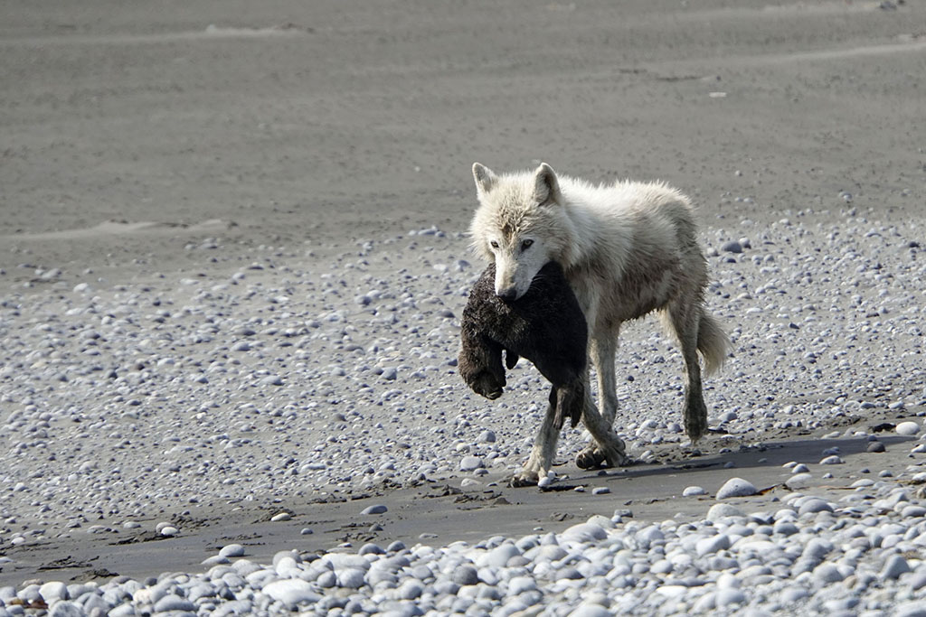 Wolf with sea otter pup. Swikshak Bay NPS Photo/Kaitlyn Kunce