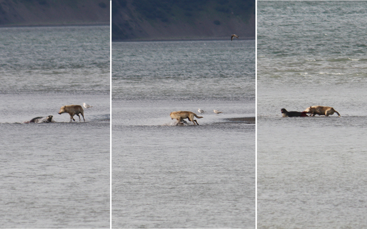 Wolf attacking a harbor seal at low tide