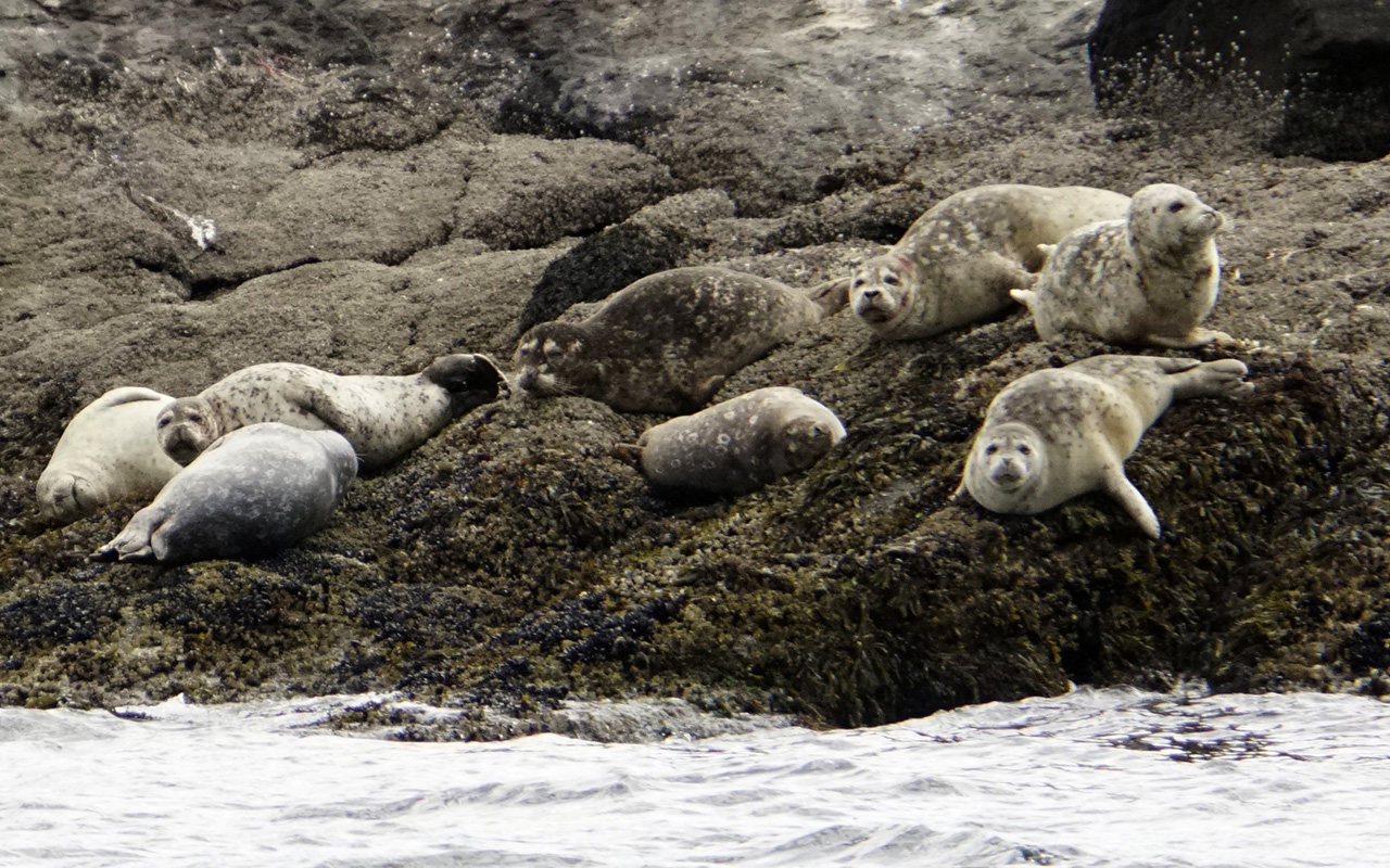 Harbor seals hauled out on rocks