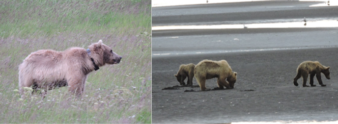 bear with radio collar (left) and bear digging in mud with yearling cubs (right)