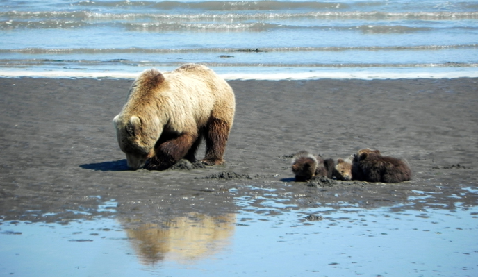 bear and three cubs digging for clams on mud flat