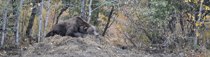 Bear resting near the Brooks Camp Campground