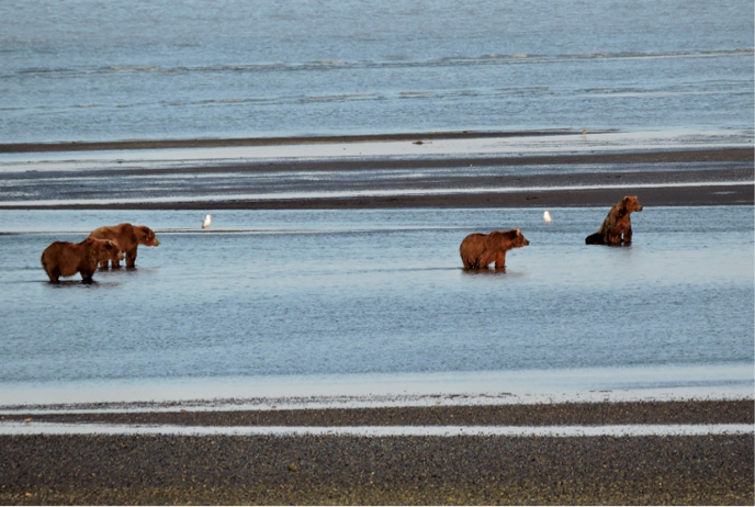 bears waiting to fish for salmon at a tidal creek