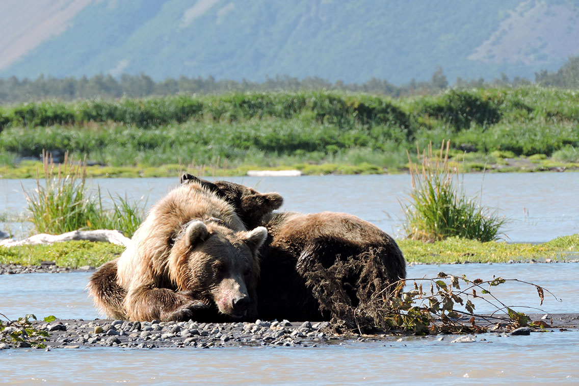 Female brown bear napping with two year old cub