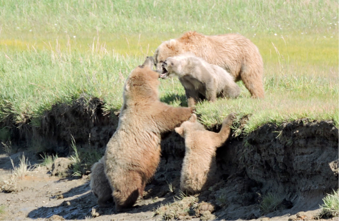 two bear families growl