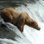 Large male brown bear fishes at Brooks Falls