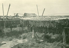 Salmon are traditionally hung on racks to dry.