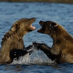 Bears play-fighting