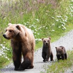 female bear walking with two small spring cubs
