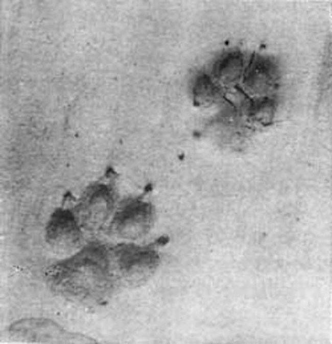 Small tracks with claw marks
