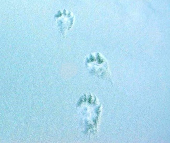 Clawed tracks in snow