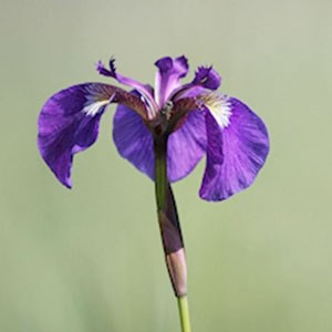 Purple Beachhead Iris wildflower.