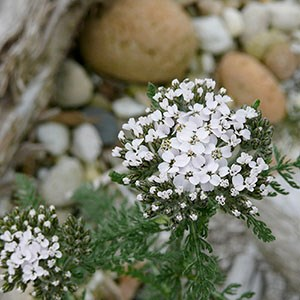 White common yarrow wildflower