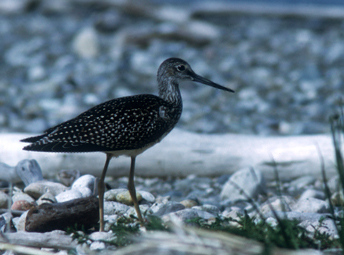 Greater yellowlegs standing on a beach
