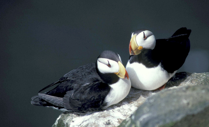 Horned puffins sitting on a rock