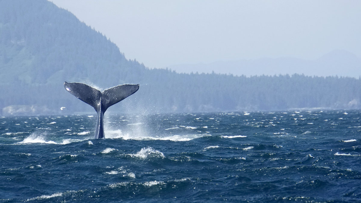 Humpback whale tail out of water